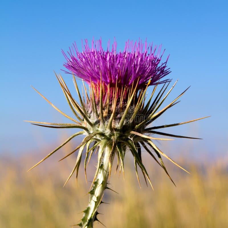 Cardo selvatico che cresce nelle montagne della Turchia fotografia stock