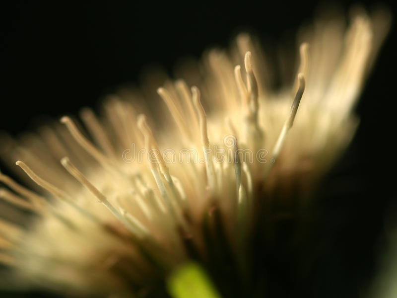 Cardo selvatico del cavolo del fiore immagini stock