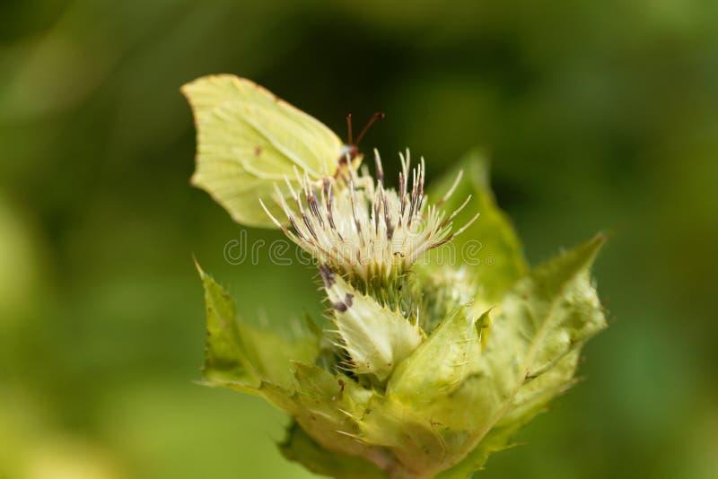 Cardo selvatico del cavolo, oleraceum del Cirsium immagini stock