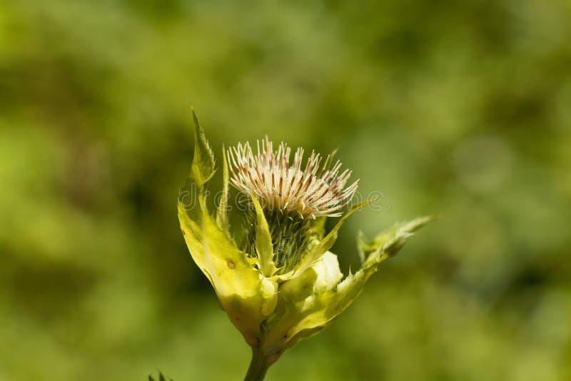 Cardo selvatico del cavolo, oleraceum del Cirsium fotografia stock libera da diritti