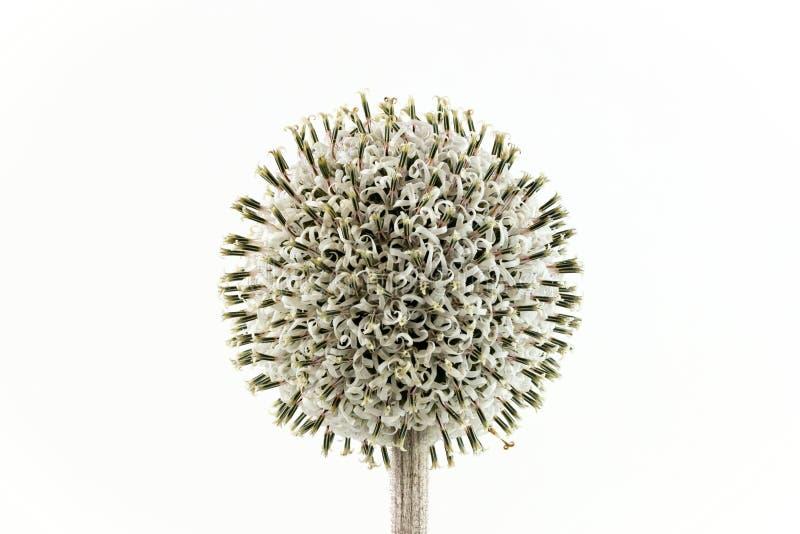 Cardo selvatico di globo bianco impilato fuoco in fioritura immagini stock libere da diritti
