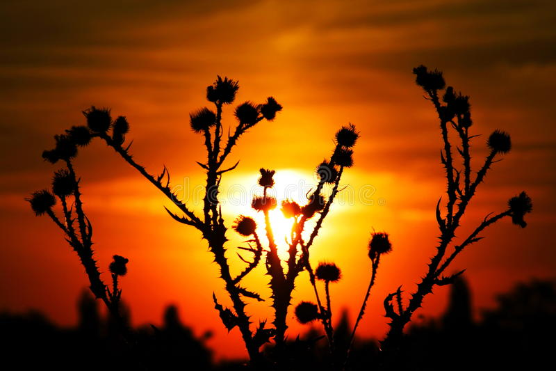 Cardo selvatico e prickles su una priorità bassa del sole fotografia stock