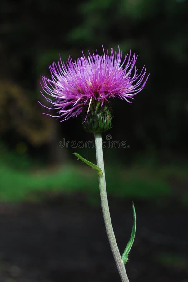 Cardo violeta imagen de archivo