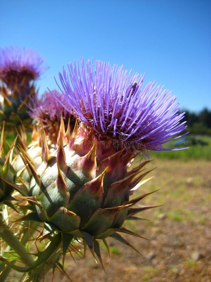 Cardobloemen in limarivallei royalty-vrije stock afbeeldingen