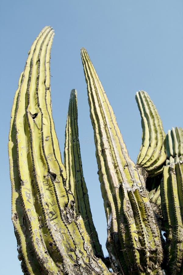 cardon кактуса стоковое фото