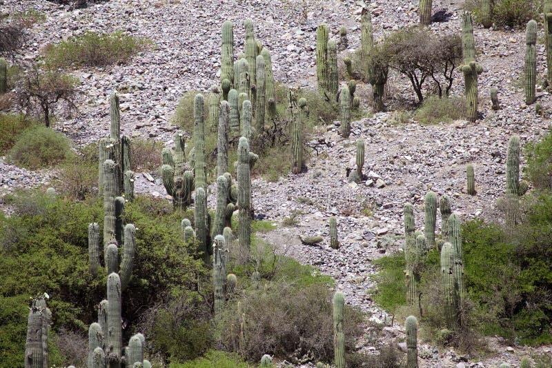 Cardonescactus in Quebrada DE Humahuaca, Argentinië stock foto