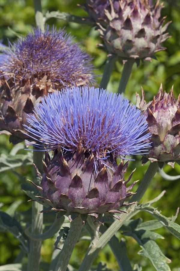 Cardoon λουλούδι και οφθαλμοί στοκ εικόνες με δικαίωμα ελεύθερης χρήσης
