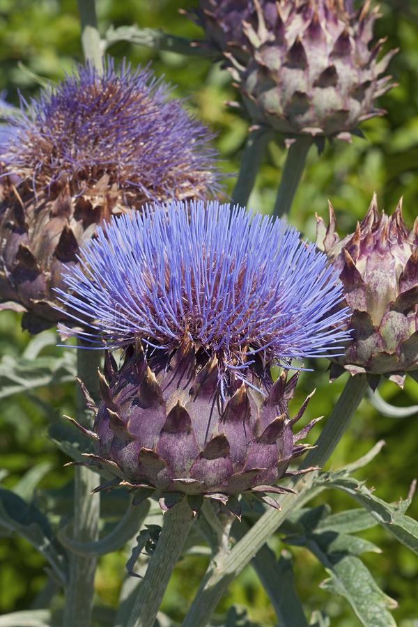 Free Cardoon Flower And Buds Royalty Free Stock Images - 81323989