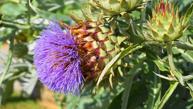 Cardoonväxt i blomslut upp Också bekant som den kronärtskockatistel eller kronärtskockan royaltyfria foton