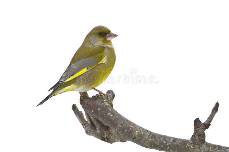 Carduelis chloris, european greenfinch standing on a branch, Vosges, France stock images
