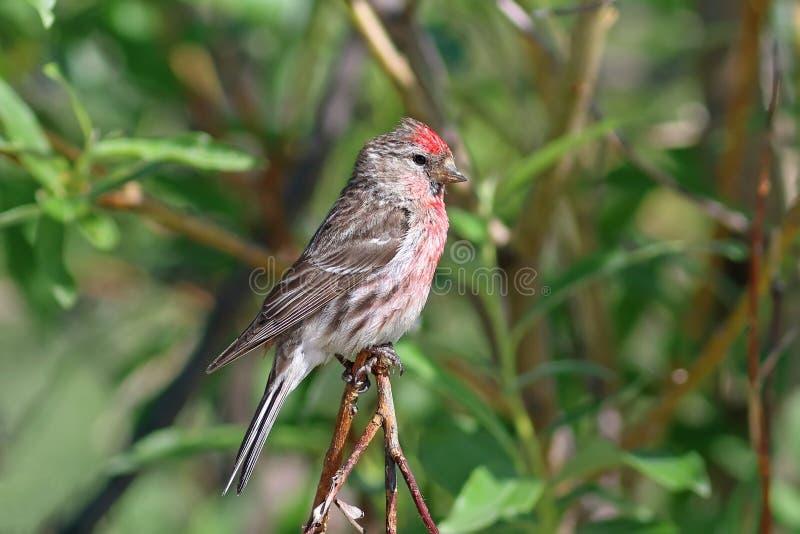 Carduelis flammea 公鸟是共同的红弱鸟 免版税库存图片