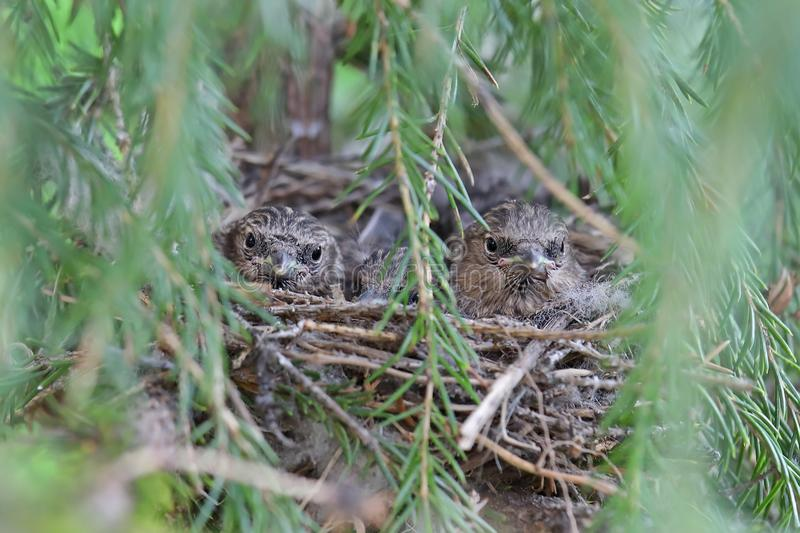 Carduelis flammea. Three Chicks Common Redpoll summer day sitting in the nest. Carduelis flammea. Common Redpoll Chicks in the nest among the spruce branches in stock photography