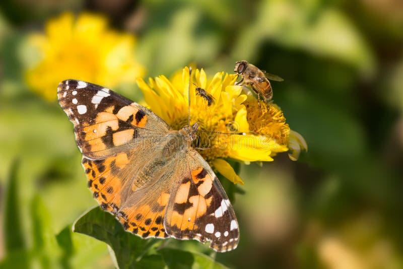 Cardui Ванессы бабочки, пчела и муха выпивают нектар желтых цветков стоковые изображения