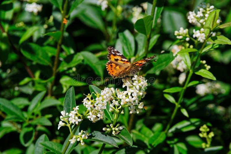 Cardui de Vanesa conocido como mariposa pintada de la señora en la flor blanca imagenes de archivo