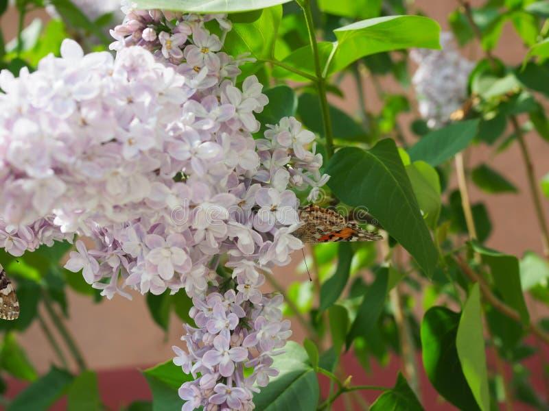 Cardui de Vanessa da borboleta em flores lil?s Lil?s de floresc?ncia da poliniza??o Cardui de Vanessa imagem de stock