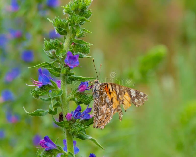 cardui de Vanessa da borboleta na flor azul do lungwort imagem de stock