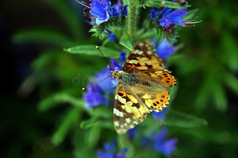 Cardui pintado da senhora Vanessa no vulgare azul do Echium do Bugloss das víboras fotos de stock royalty free