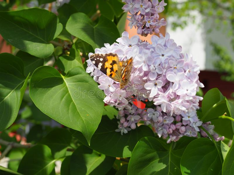 Cardui van vlindervanessa op lilac bloemen Bestuivings bloeiende seringen Cardui van Vanessa stock foto's