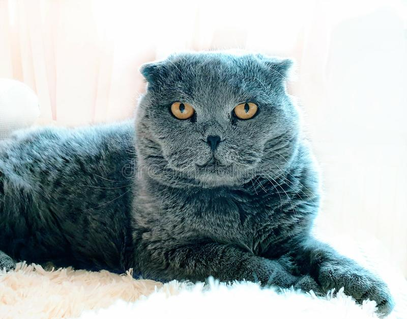 Scottish Fold Cat On white blanket Old woman hand caressing cat fur funny kitten care home animal. Care Animal Funny Scottish Fold Cat On white blanket Old woman stock photo