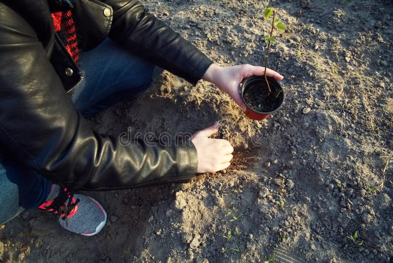 The girl is planting a young tree. royalty free stock photo