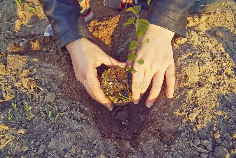 The girl is planting a young tree. stock image