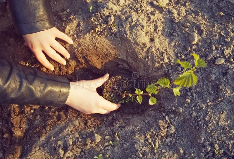 The girl is planting a young tree. The care girl is planting a young deciduous tree. Care for the environment royalty free stock photo
