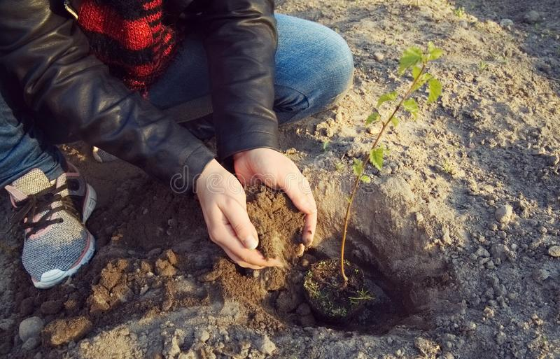 The girl is planting a young tree. The care girl is planting a young deciduous tree. Care for the environment stock photo
