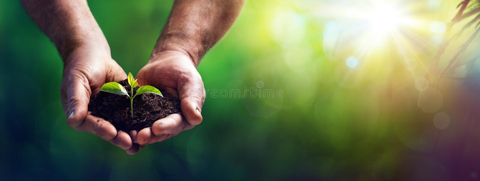 Small Plant In Old Hands - Care And Protection Concept royalty free stock photo