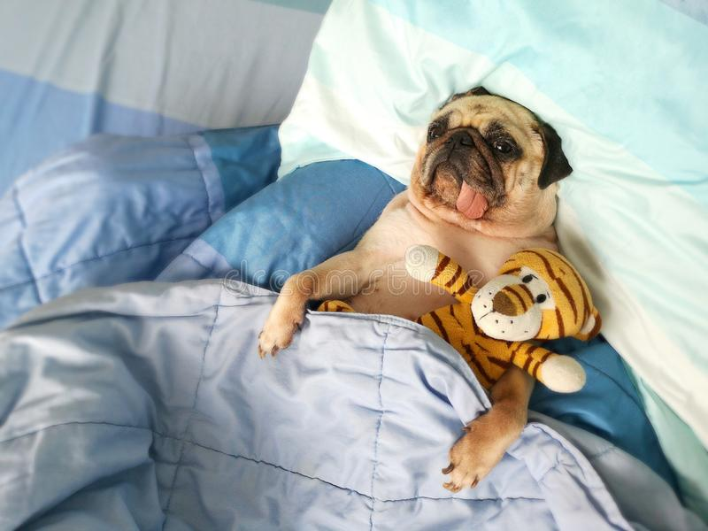 Carefree restful little pug dog lying on blue bedclothes, embracing tiger dolls while having pleasant dreams. Pets with freckles. Carefree restful little pug dog royalty free stock image