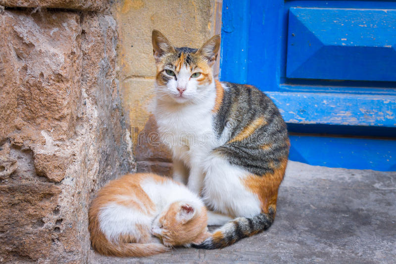 Carefree street cats in Morocco, Essaouira sity. Street portrait of Calico cat with a kitten. Carefree street cats in Morocco, Essaouira sity royalty free stock photos