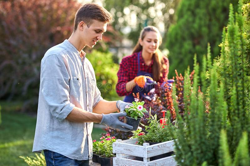 Careful guy gardener in garden gloves puts the pots with seedlings in the white wooden box on the table and a girl. Prunes plants in the wonderful nursery stock photography