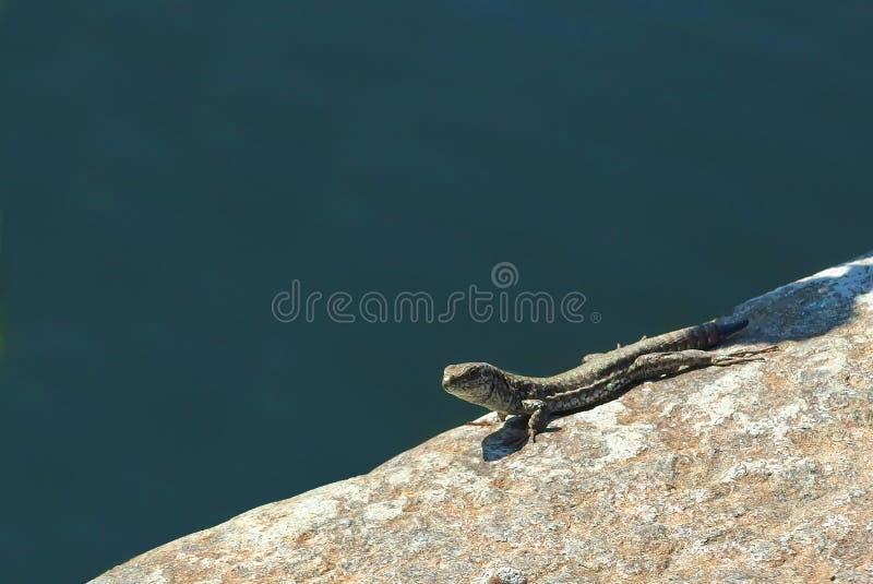 A careful lizard on a stone edge near the river. A curios but careful lizard, staring from a stone edge near the river waters royalty free stock photo
