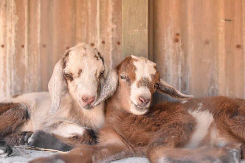 Caresse de deux chèvres de bébé image libre de droits