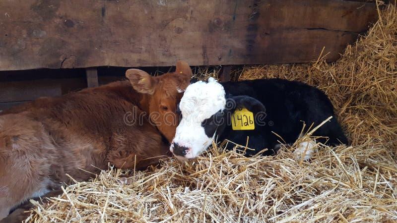 Caresses de vache photo libre de droits