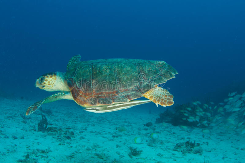 Caretta do Tartaruga-Caretta do mar da boba imagem de stock royalty free