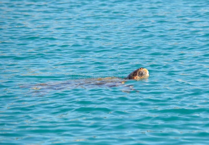 caretta kłótni denny żółw fotografia royalty free