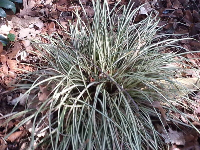 Carex stock afbeeldingen