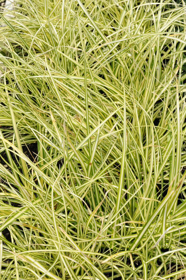 Carex oshimensis lizenzfreie stockbilder