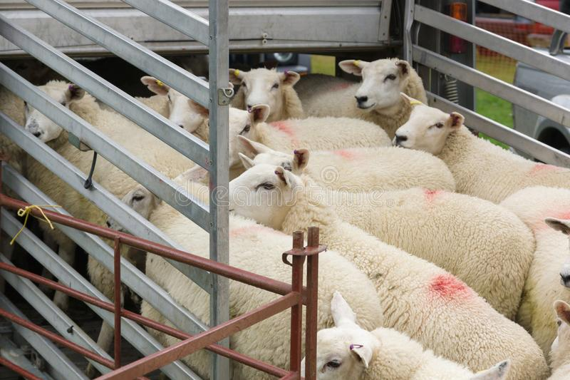 Cargamento de las ovejas en un transportador imagen de archivo