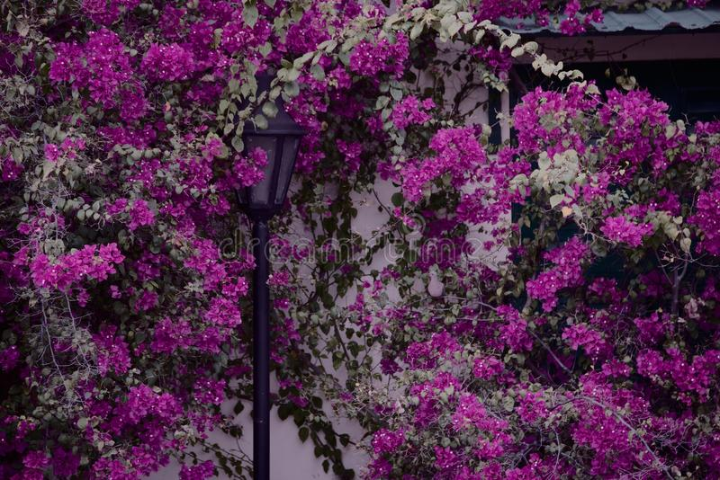 Cargo e pomba da lâmpada que escondem em uma videira de florescência roxa crescente fotografia de stock royalty free