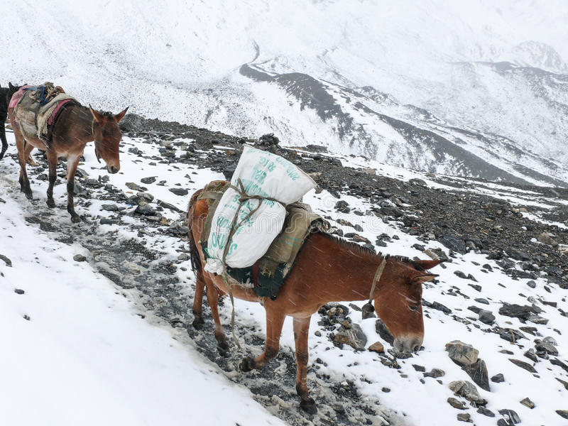 Cargo Himalaia das mulas - tempo nevado na passagem do La de Thorong, Nepal fotografia de stock