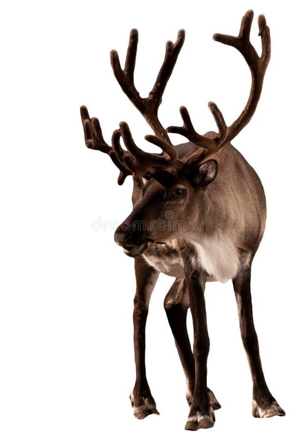 Caribù della renna fotografia stock libera da diritti