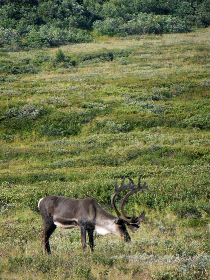 Caribú de Alaska - del parque nacional de Denali imagenes de archivo