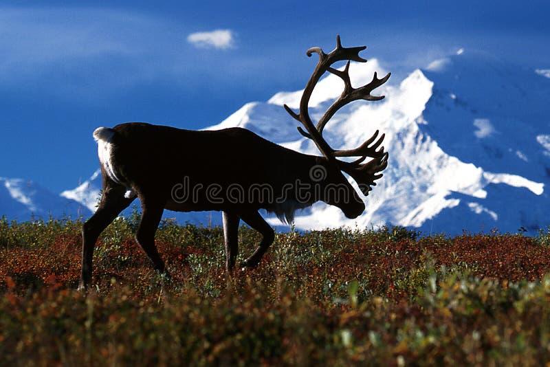 Caribú de Bull que camina delante del Mt McKinley (tarandus del Rangifer imágenes de archivo libres de regalías