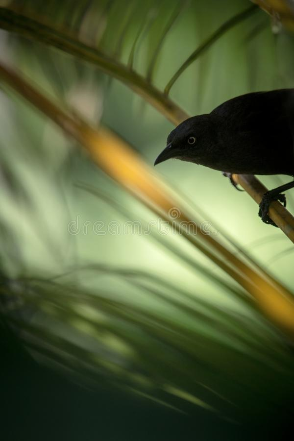 Carib Grackle sitting on palm tree in garden, Trinidad and Tobago, black bird perching on branch,colorful and beautiful background royalty free stock images
