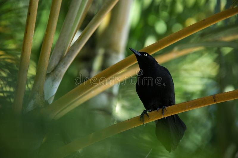 Carib Grackle sitting on palm tree in garden, Trinidad and Tobago, black bird perching on branch, colorful and beautiful backgroun. D, exotic adventure stock images