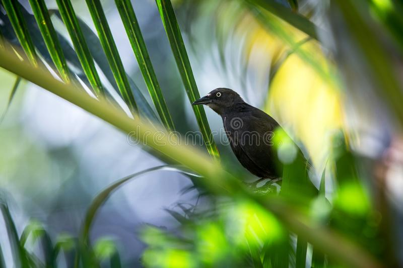 Carib Grackle sitting on palm tree in garden, Trinidad and Tobago, black bird perching on branch, colorful and beautiful backgroun. D, exotic adventure royalty free stock photos