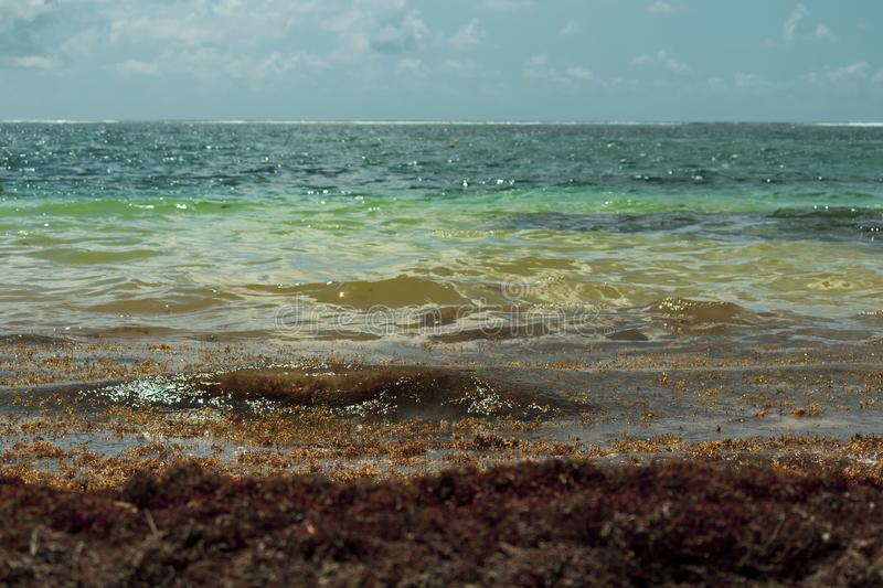 Caribbean beach is flooded with sargasso seaweed. Making it unattractive for tourists and swimmers in general. Turquoise water now has a brown layer of dead royalty free stock photos