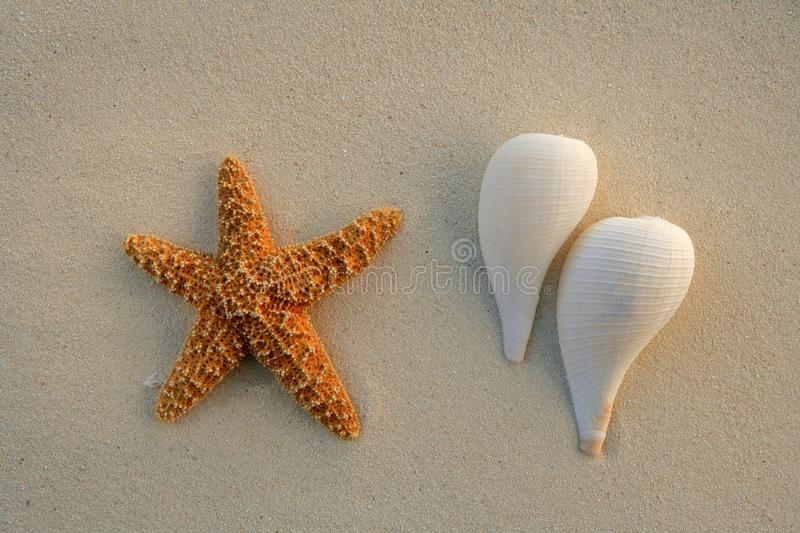 Caribbean beach sand with starfish and sea shells royalty free stock image