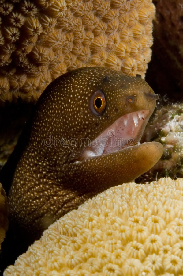 Caribbean brown moray royalty free stock images